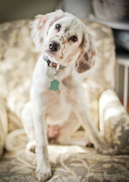 english setter  Looks, just like my old girl.  So want another one.