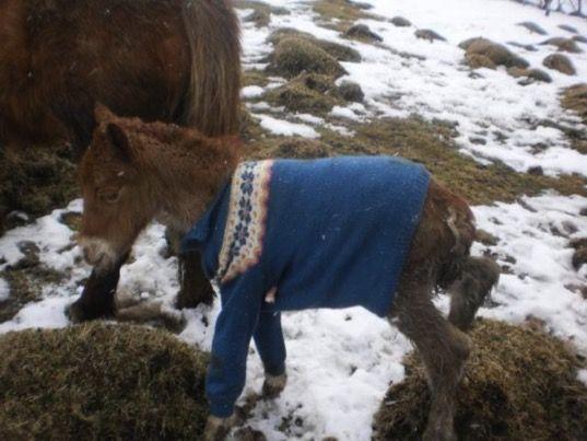 """Este cavalo nasceu prematuro e inesperadamente em Março. Porque o pelo dele era fino demais, o fazendeiro teve que encontrar alguma outra solução para mantê-lo aquecido. Ele foi até uma loja da Cruz Vermelha e comprou um casaco velho, de modelo tradicional islandês, (""""lopapeysa""""). Segundo o fazendeiro, o casaco salvou a vida do pequeno potro!"""