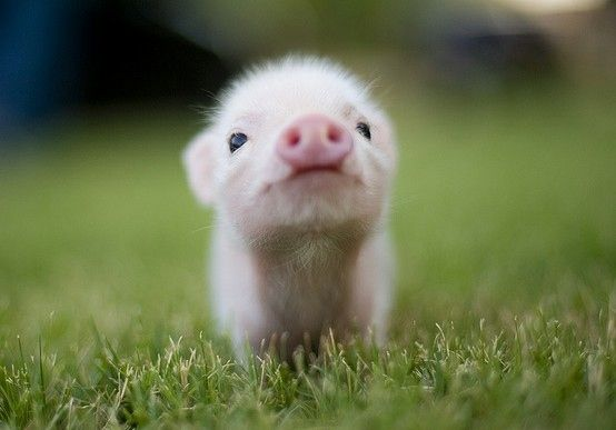 Pretty in pink. Cutest piglet ever!!