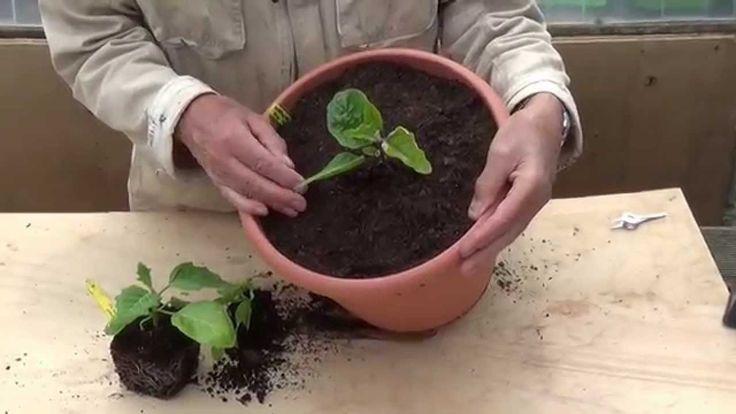 Mini-aubergines kweken
