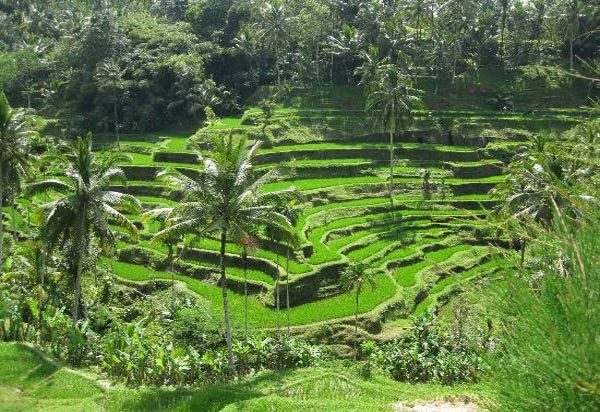 30 Pemandangan Indah Di Sawah Sawah Terasering Ubud Bali Objek Favorit Wisatawan Download Video Pemandangan Sawah Sawah Indah Di 2020 Pemandangan Ubud Budaya Dunia
