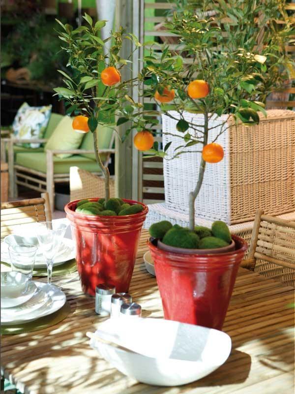 Fruitier en pot- quels agrumes et plantes exotiques cultiver à la ...