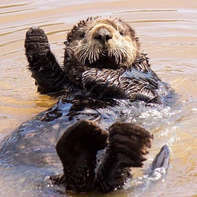 Good Morning Otter Meme : Monterey sea otter quot good morning i hope you all have a