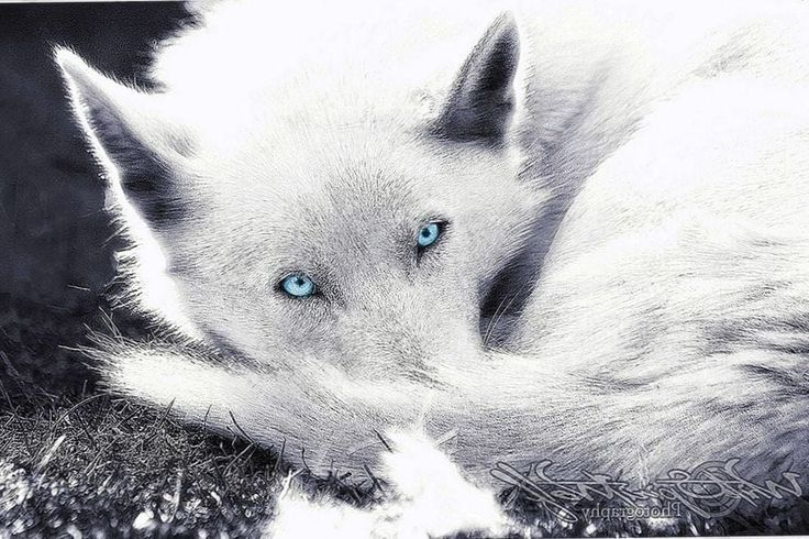 Blue Eyed Wolves Wallpapers #Blue #Eyed #Wolves #Wallpapers