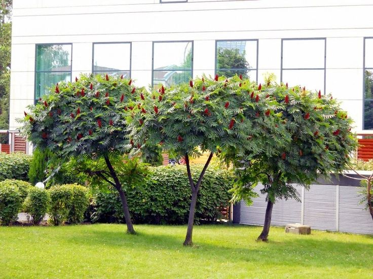 Сумах оленерогий, или уксусное дерево (Rhus typhina)