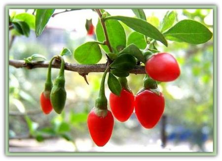 GOJI BERRIES - are rich in B vitamins, and also contain large quantities of vitamin E.