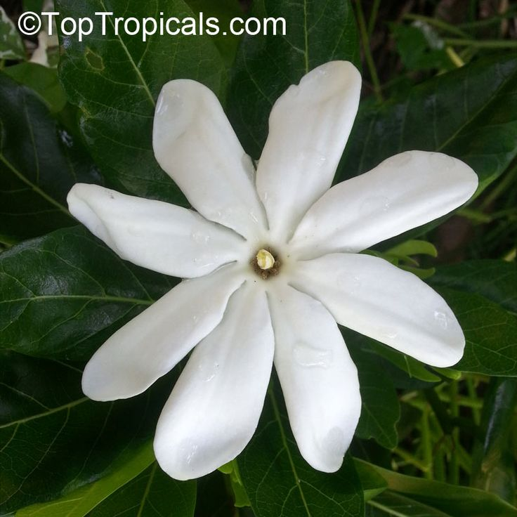 description tahiti tropical flower - photo #3