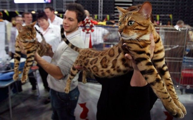 bengal cat cost | Cute Cats Pictures