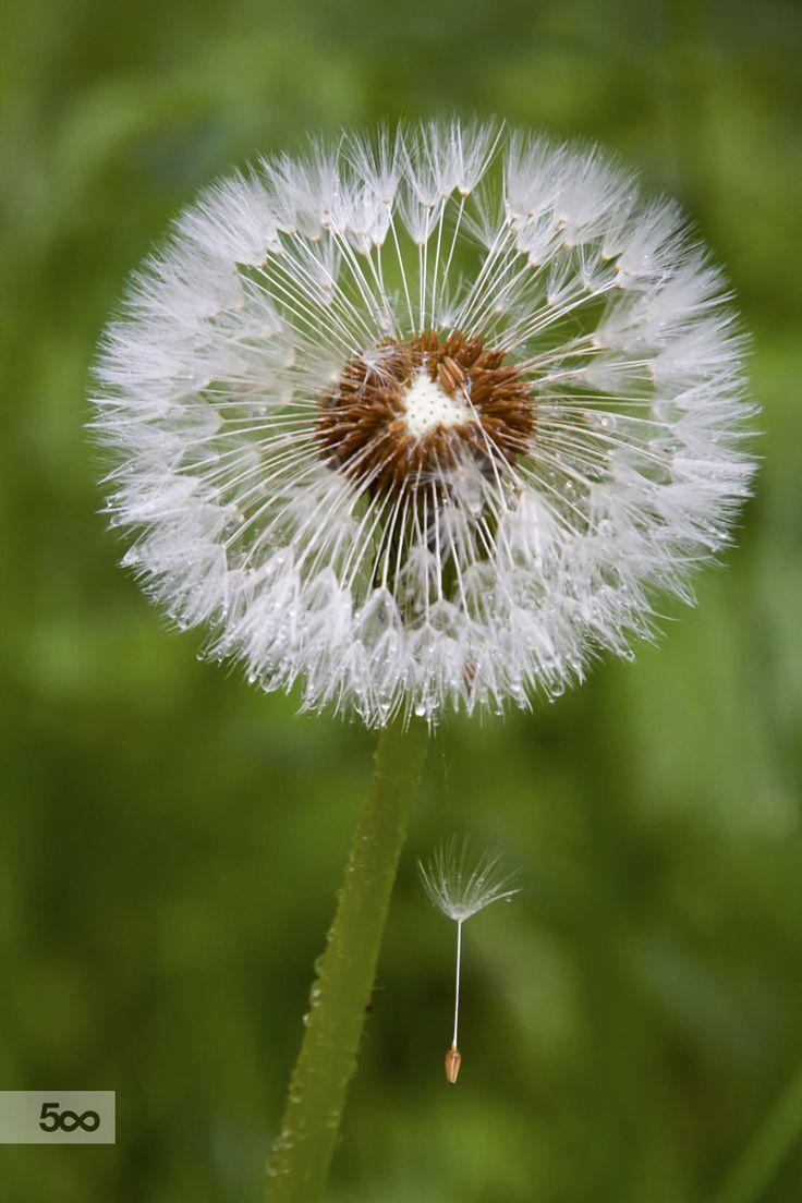 Photograph Dandelion with dew drops by Teemu Tretjakov on 500px