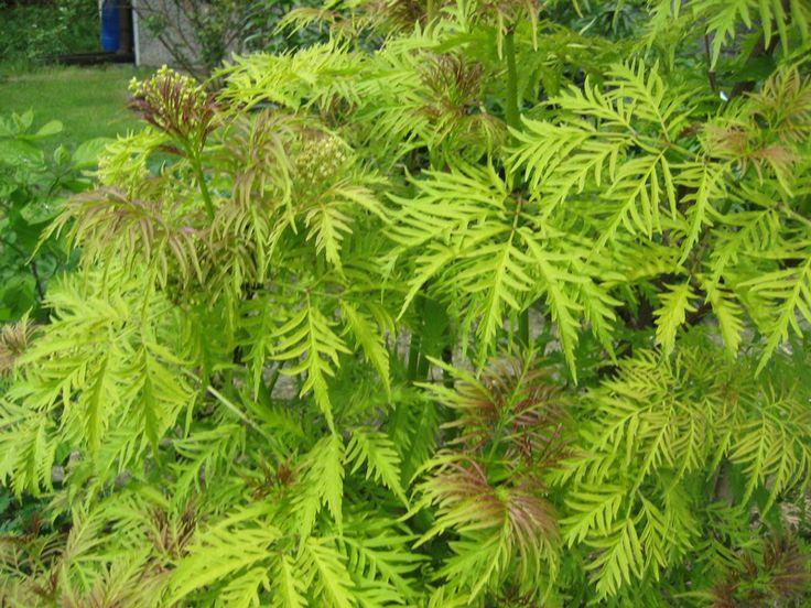 BEZ KORALOWY 'PLUMOSA AUREA' (Sambucus racemosa 'Plumosa Aurea')