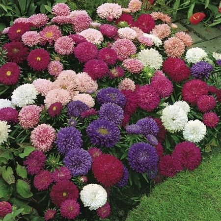 Bountiful bouquet of beautiful asters