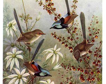 BIRDS print of Fairy Wrens with Flannel Flowers, Australian BIRD print, bird bedroom decor