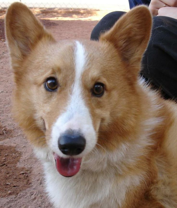 Speedy - Welsh Corgi • Adult • Male • Medium  Arizona Cactus Corgi Rescue Glendale, AZ  Being a tripod doesn't phase 6-year-old Speedy. Surrendered in 2010 by an owner who couldn't afford to treat the Valley fever that eventually broke his leg, Speedy was in serious pain before the doctors at Estrella performed the amputation. He now runs and plays any chance he gets but doesn't do stairs. Speedy needs to be the only dog in a home without children...