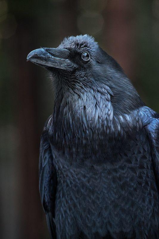 Corvid | Crow | Raven | Rook | La Corneille | Il Corvo | 烏 | El Cuervo | ворона | 乌鸦 | Common Raven