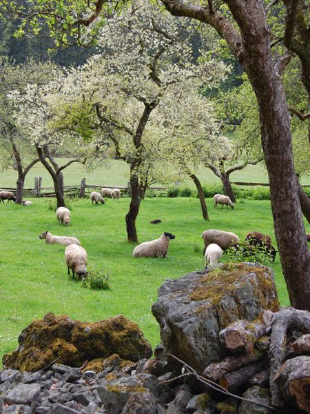 Sheep in pasture at the Ruckle farm - the oldest continually operating farm in British Columbia