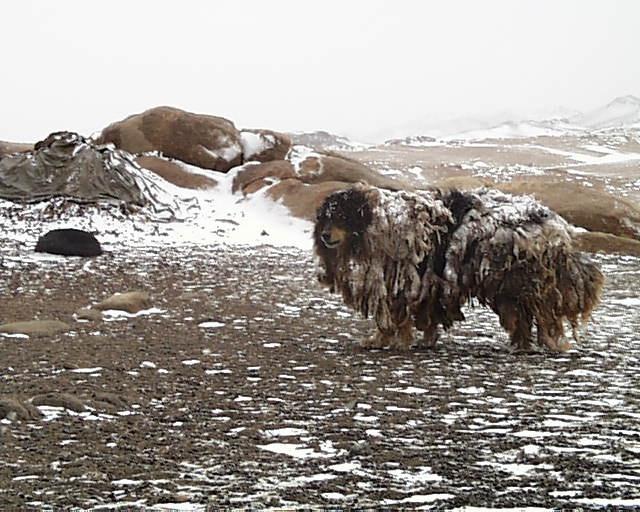 Mongolian dog
