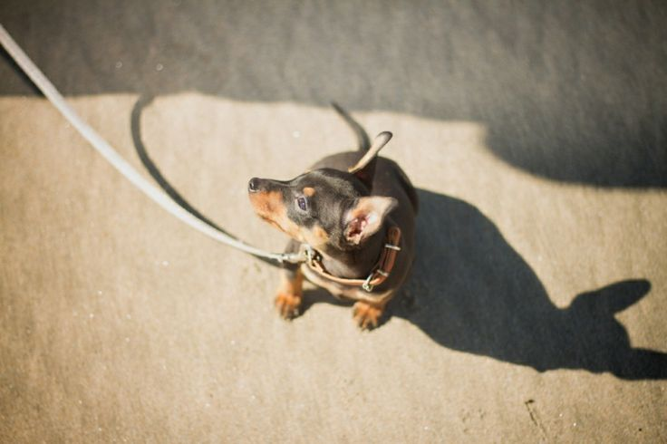 Minpin puppy photography