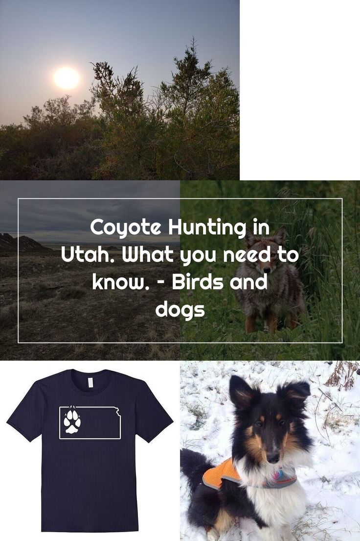 Coyote Hunting in Utah. What you need to know. Birds and