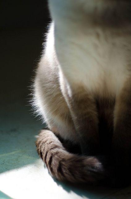 cat ♥ Siamese