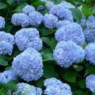 Hydrangea Macrophyllia Nikko Blue