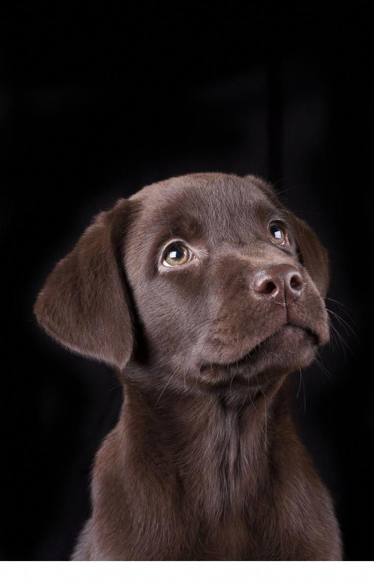 Boston Terrier Chocolate Labrador Retriever Labrador Retriever Labrador Puppy