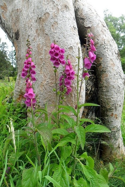 British wild flower. Digitalis purpurea. Foxglove.