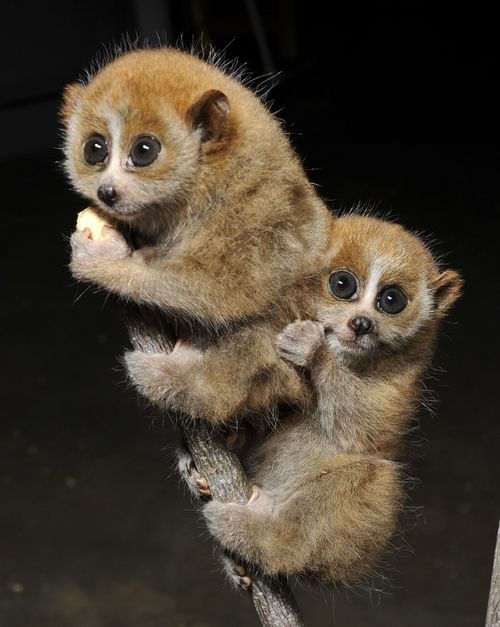 On April 9 the Duke Lemur Center welcomed two new Pygmy Slow Loris twins to mother Loris, Sovanni. The Duke Lemur is the foremost prosimian research and advocacy center and sanctuary. Prosimians are primitive primates that include lemurs, lorises, bushbabies and tarsiers.