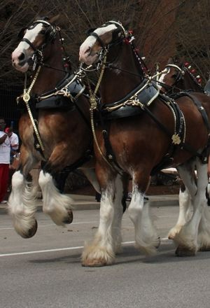 Budweiser Clydesdales at St. Louis opener by Subjects Chosen at Random