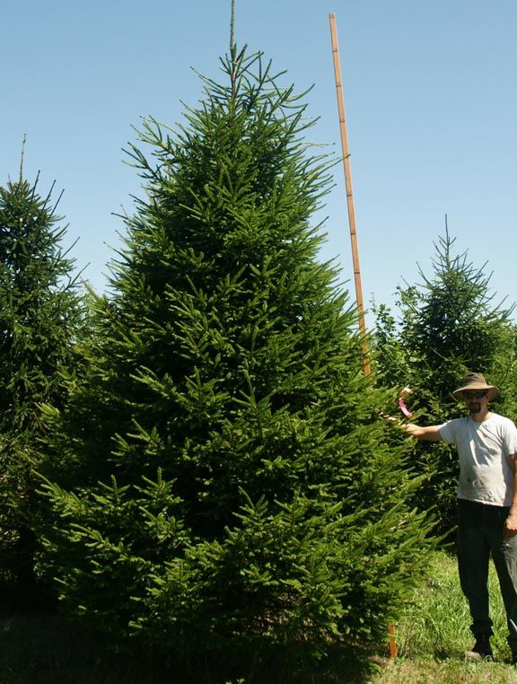 42 Best Conifers Images On Pinterest Landscaping Ideas