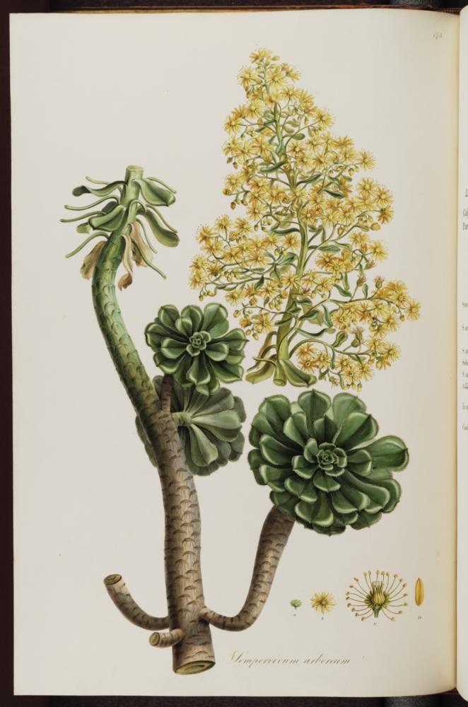 Aeonium arboreum Webb & Berthel. [as Sempervivum arboreum L.] tree houseleek Sibthrop, J., Smith, J.E., Flora Graeca, vol. 5: p. 57, t. 473 (1825)