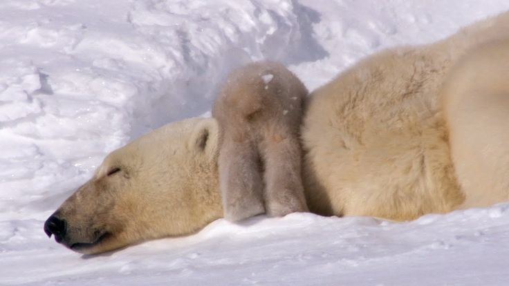 Polar Bear Cubs Take Their First Tentative Steps - Planet Earth - BBC Earth - Published on Mar 10, 2017 - After four months of darkness 2 Polar Bear cubs emerge from their arctic den and gaze out into a bright new world for the very first time. Taken From Planet Earth Series 1, Episode 1