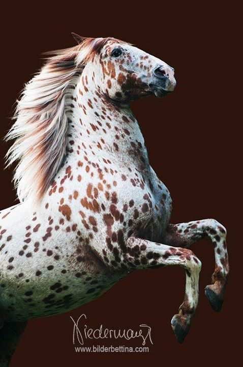 Leopard Appaloosa, gorgeous horse photography. White horse red spots and markings, gorgeous flowing mane, horse rearing.