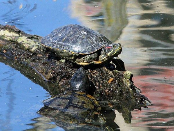 6 choses à savoir sur la #tortue de #Floride Attention : #carnivore !