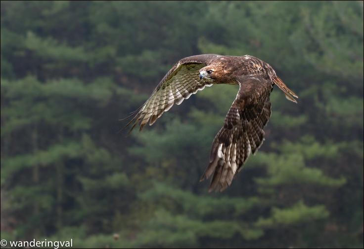 Red-tailed Hawk/ Краснохвостый сарыч