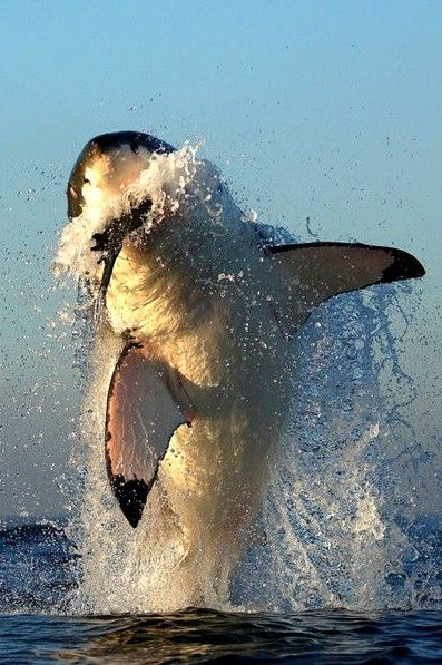 "White Shark: ""Hunting"" by Alfred Weissenegger on 500 px."
