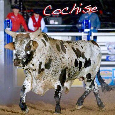 296 Best Pbr Bucking Bulls Images On Pinterest Bucking