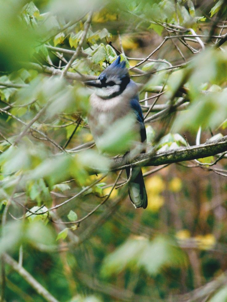 Neck feathers blowing in high winds, he held on. Blue Jay - s.dorman's photo