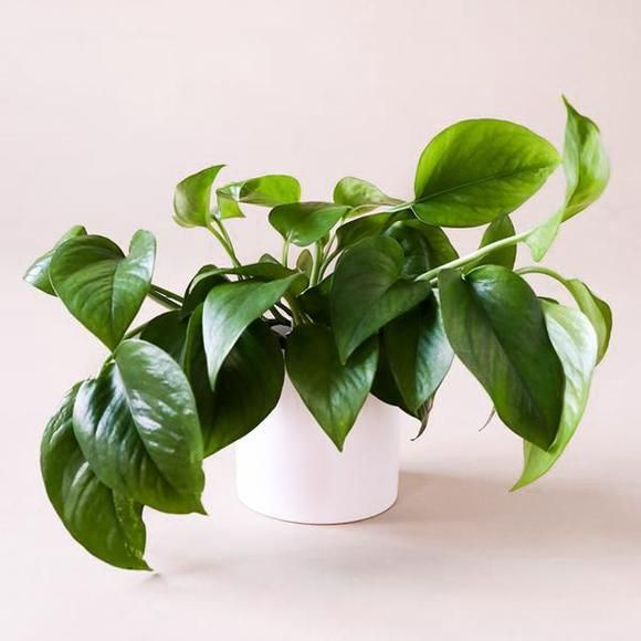 Pothos Green 4 Inch House Plants Plants Green