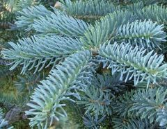 http://www.plantistanbul.com/Plantistanbul-Picea-Pungens-Asili-Ithal-Mavi-Ladin-20-40-cm,PR-183.html