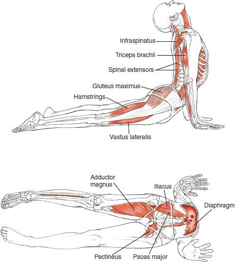 Bhujangasana - Cobra Pose Improves posture Strengthens the spine, shoulders, wrists, Stretches shoulders, stomach and lungs Firms buttocks - Stimulation of abdominal organs Helps relieve mild depression, fatigue Yoga - Inspirations :: http://ce