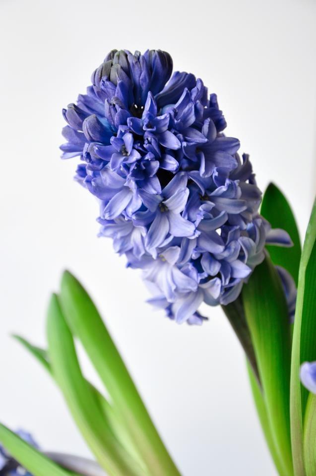 Za oknem jeszcze wciąż buro... Pora więc pocieszyć się tymi kwiatami, które rosną w domu, choć - oczywiście - można je uprawiać i na rabatach. W chłodnych miesiącach takim pocieszycielem jest hiacynt, chętnie rozwijający swoje drobne płatki w sprzyjających warunkach.