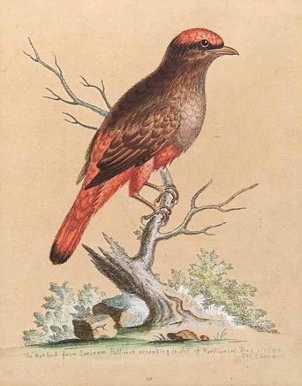 gravure: The Redbird from Surinam-George Edwards-1694-1773