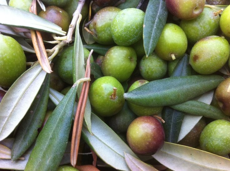Olive appena raccolte 2014