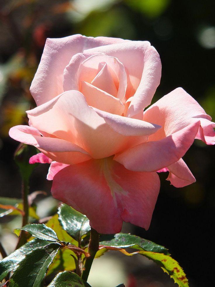 увлекающиеся музыкой, чайные розы показать картинки плетений