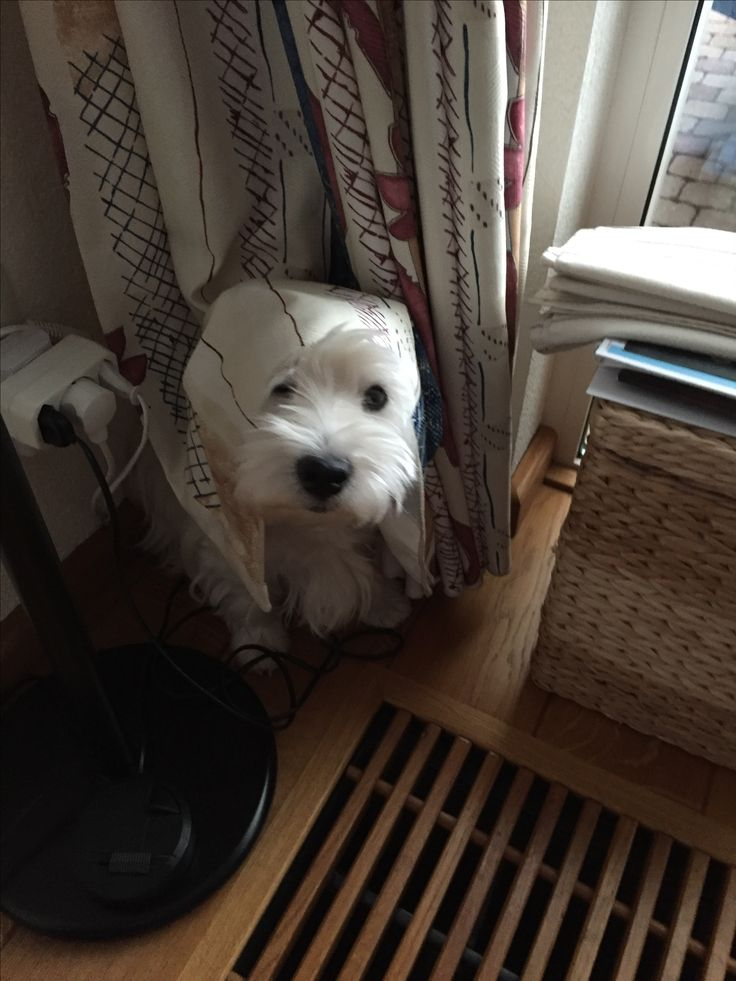 Image result for westie scared
