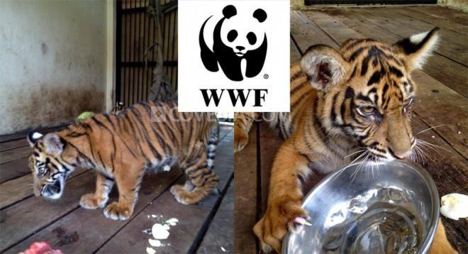 Covesia.com - World Wide Fund for Nature (WWF) Indonesia Regional Sumatera menyayangkan kematian terhadap empat anak harimau, dua diantaranya anak harimau...