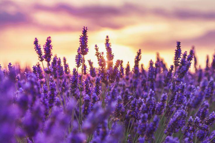 Lato lawendą pachnące… blog Inspirowani Naturą lavender