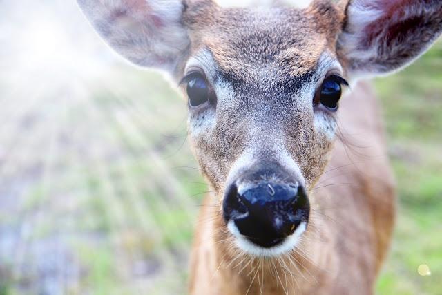 The characteristics of the key deer a deer species of florida keys