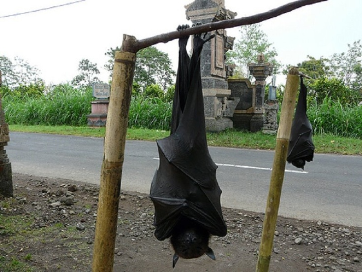 The giant golden-crowned flying fox (Acerodon jubatus), also known as the golden-capped fruit bat, is a rare megabat and one of the largest bats in the world. The species is endangered and is currently facing the possibility of extinction because of poaching and forest destruction. It is endemic to forests in the Philippines.