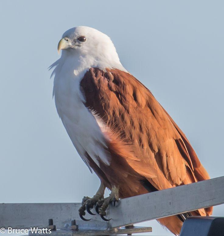 Brahminy Kite - Crowdy Head